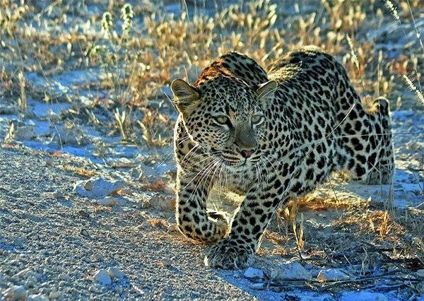 Leopard 1000 Stück - Puzzle